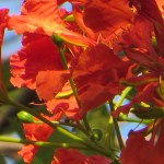 ホウオウボク 花のアップ