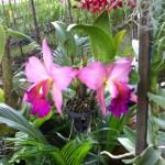 カトレア 優雅な花のアップ