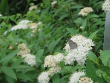 シモツケ 白系花とシジミチョウ