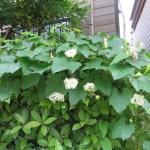 カラスウリ 花の群れ