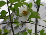 Deciduous Camellia/ ナツツバキ