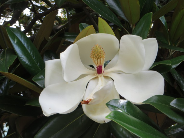Taisannboku/ southern magnolia