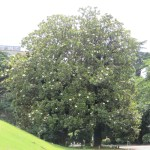 木の遠景 満開の木