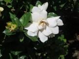 クチナシ八重 花のアップ