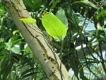 Sal/ サラ Shorea robusta