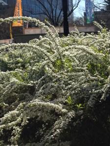 ユキヤナギ/Spiraea thunbergii