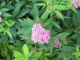 シモツケ ピンク系の花