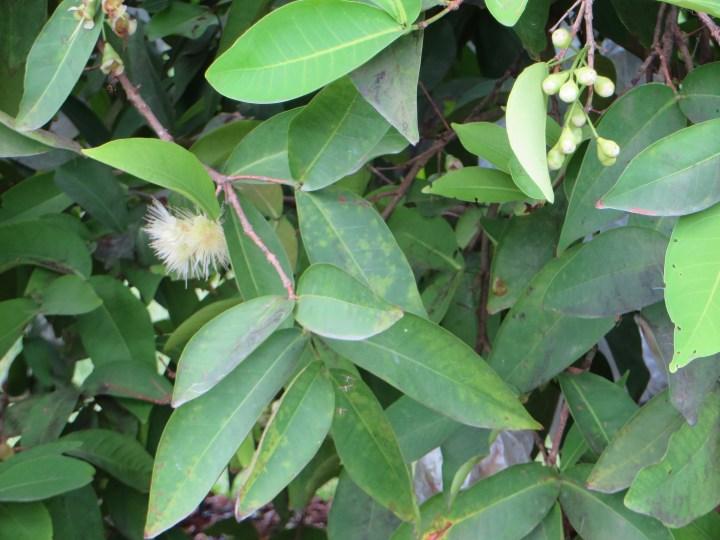 ジャワフトモモ 花と幼果