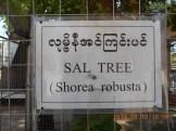 サラ Couroupita guianensis 間違った標識 (Shorea robustaではない)