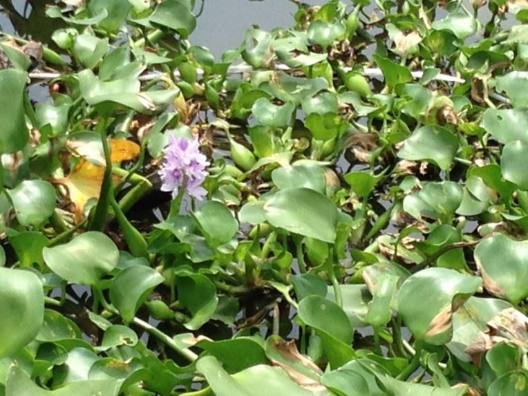 Water hyacinth/ ホテイアオイ