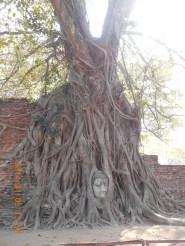 アユタヤの有名な仏頭を持ち上げるボダイジュ