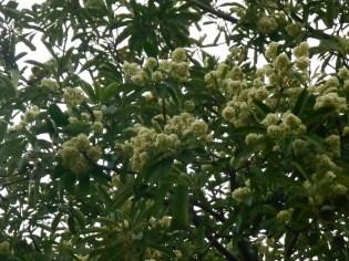 シチヨウジュ 満開の木の姿
