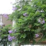ジャカランダ  花の姿