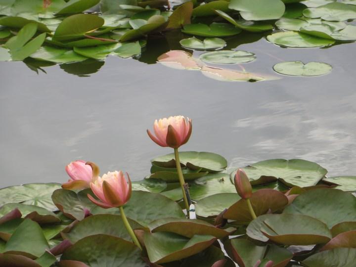 薄いピンクのスイレン (温帯性)