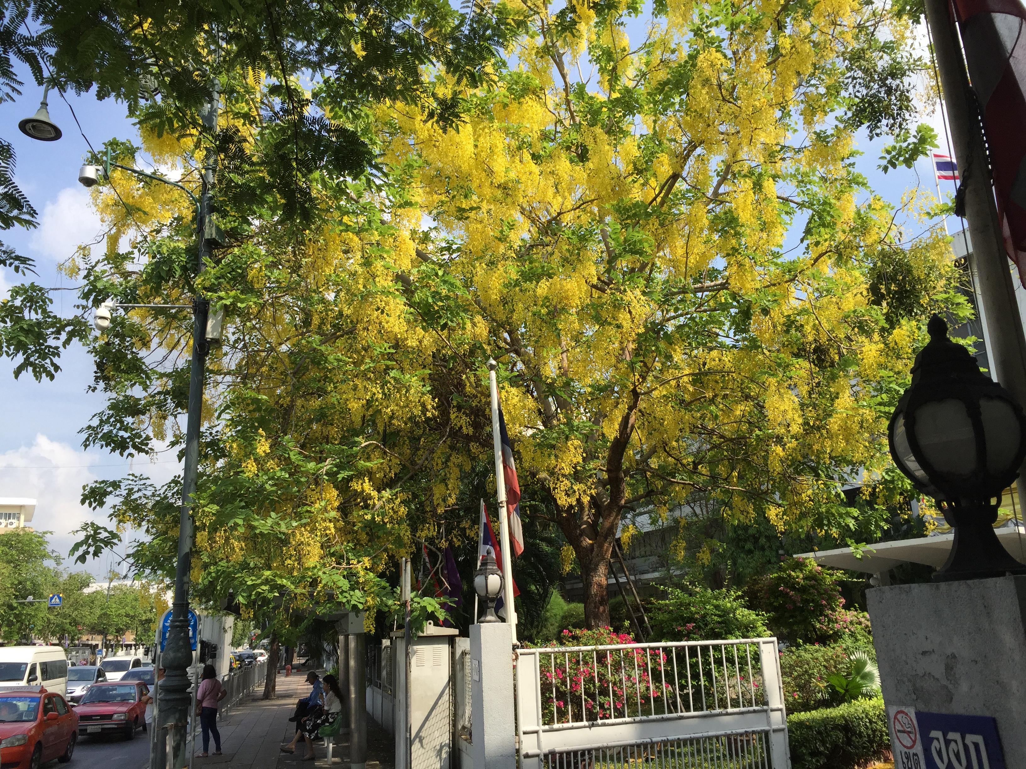 ゴールデンシャワー満開の木