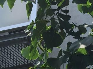 スペード型の葉