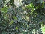 Rambutan/ ランブータン