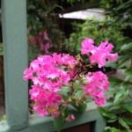 バンコクのサルスベリ 花のアップ