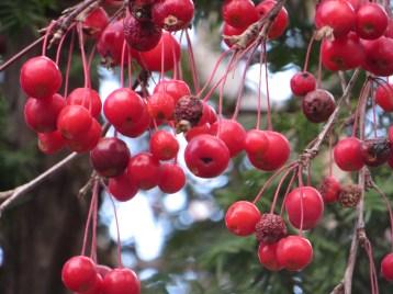 ナナカマド 果実のアップ