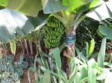 温室の中のバナナ