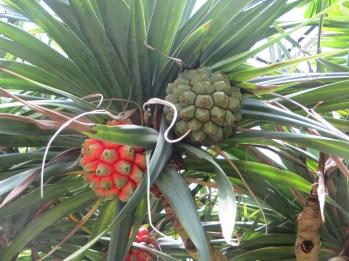 タコノキの果実