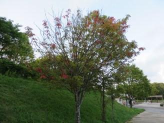 ナナカマド 色づき始めた木
