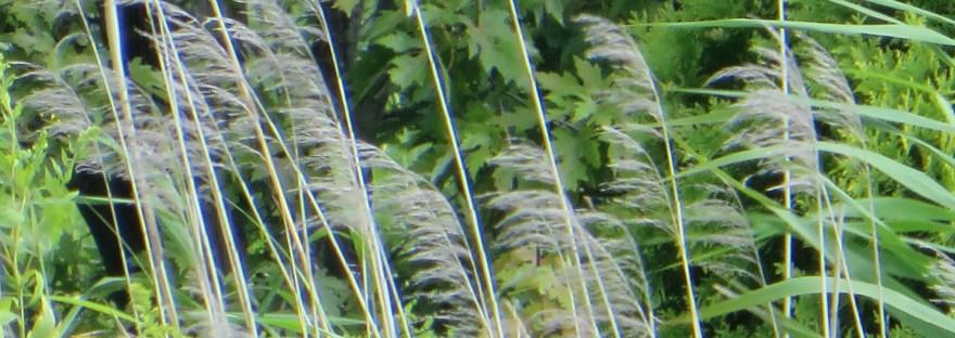 ススキ Chinese silver grass