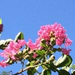 サルスベリ 青空に映える花の姿