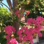 サルスベリ 花と幹の姿