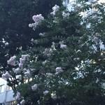 白花のサルスベリ