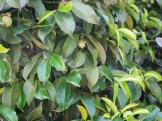 マンゴスチン 木と果実