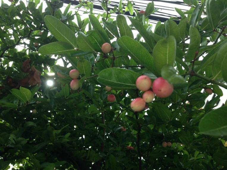 Natal plum/ カリッサ・カランダス