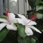 おしべがきれいな白い花 ブッソウゲ