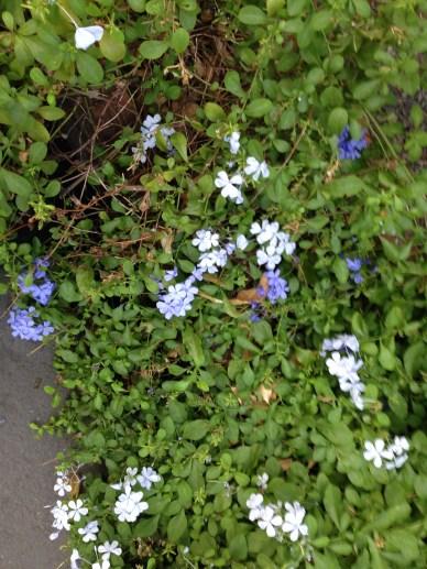 ルリマツリ 花色のバラエティ