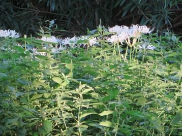 群れて咲く白花