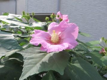 フヨウ 花のアップ