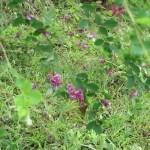 ハギ(ヤマハギ?)草の姿