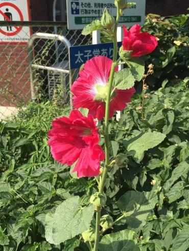タチアオイ 赤い花
