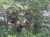 クサギ 木の姿