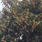 キンモクセイ 枝に咲く花の姿
