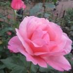 Modern garden rose/ Grandiflora/ Queen Elizabeth クイーンエリザベス