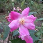 シングルピンクチャイナ 原種交配種
