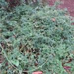 テリハノイバラ 原種