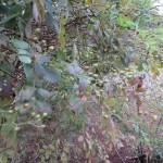 ノイバラ 原種