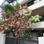 ムッサエンダ・フィリピカ ピンクの花と白い花の様子