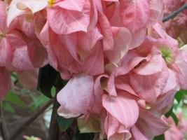 ピンクの花の様子