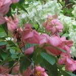 ムッサエンダ・フィリピカ ピンクと白い花の系統