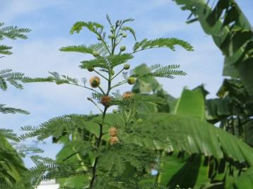 ギンネム 花と枝の様子