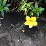 ヒメアリアケカズラ 花の様子