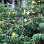 ヒメアリアケカズラ  植物全体の様子
